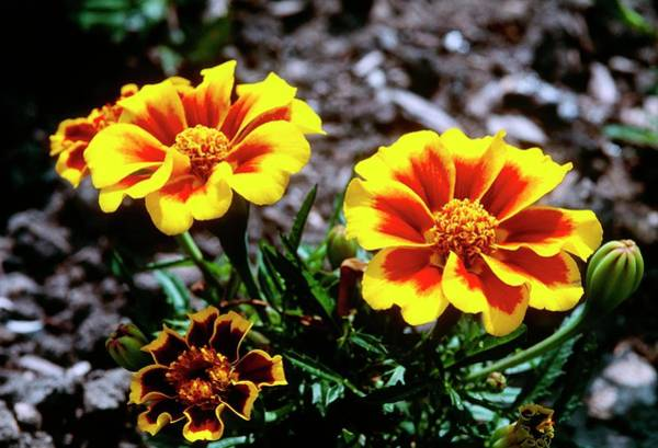 Bicolour Photograph - Tagetes Patula Disco Flame by Adrian Thomas/science Photo Library