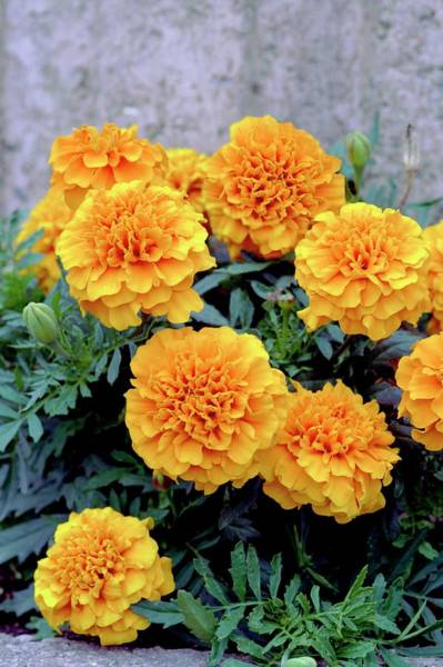 Wall Art - Photograph - Tagetes Patula 'sunspot Mixed' by Brian Gadsby/science Photo Library