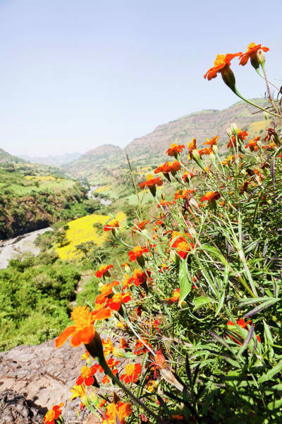 Asteraceae Photograph - Tagetes Plants And Landscape, Ethiopia by Martin Zwick