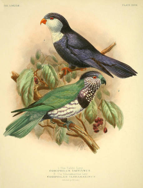 Tahiti Wall Art - Painting - Tahiti Lory by Dreyer Wildlife Print Collections