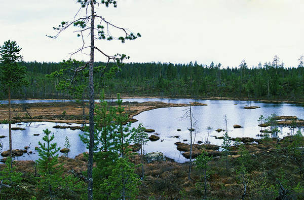 Boreal Forest Photograph - Taiga Forest by Leslie J Borg/science Photo Library