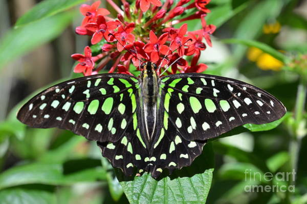 Wall Art - Photograph - Tailed Jay Butterfly by AnnaJo Vahle