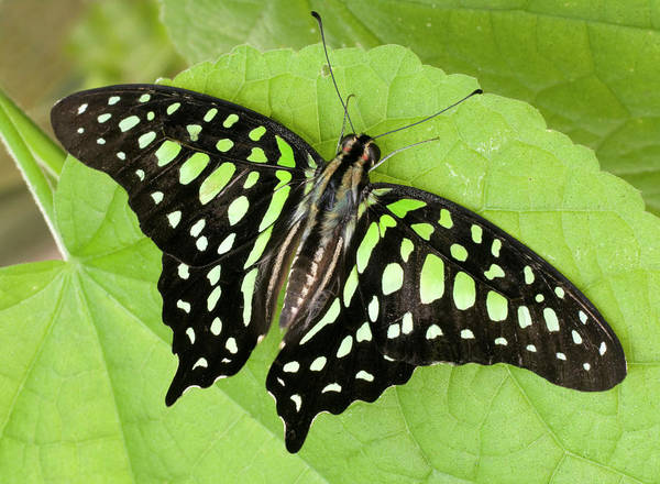 Green Jay Photograph - Tailed Jay Butterfly by Nigel Downer