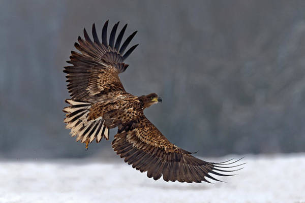 Flying Eagle Photograph - Taking Off by Xavier Ortega