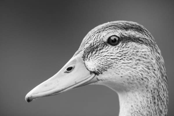 Photograph - Talk Like A Duck by Windy Corduroy