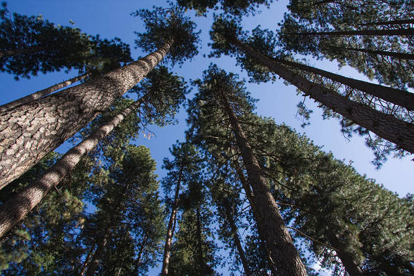 Talls Trees Yosemite National Park Art Print
