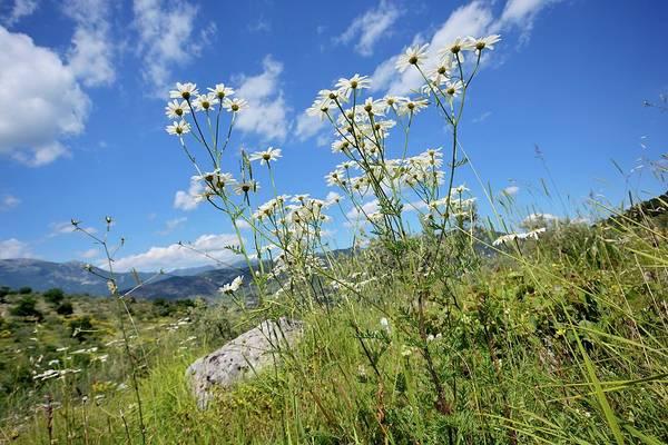 Moorland Photograph - Tanacetum Corymbosum Flowers by Bruno Petriglia