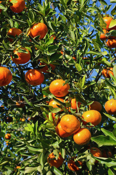 Hidalgo Photograph - Tangerine Tree In Orange Grove by Larry Ditto