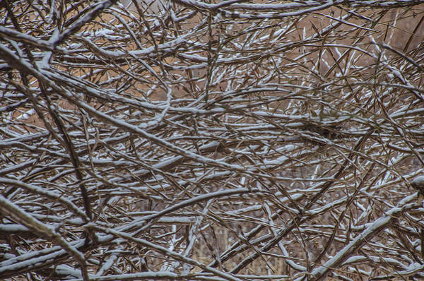 Photograph - Tangled In The Snow by Beth Sawickie