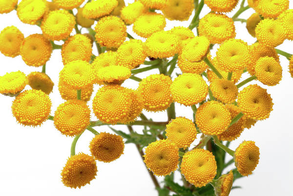 Tonic Photograph - Tansy (tanacetum Vulgare) by Bildagentur-online/th Foto/science Photo Library
