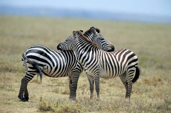 Hoof Photograph - Tanzania Serenget National Park by Vintage Images