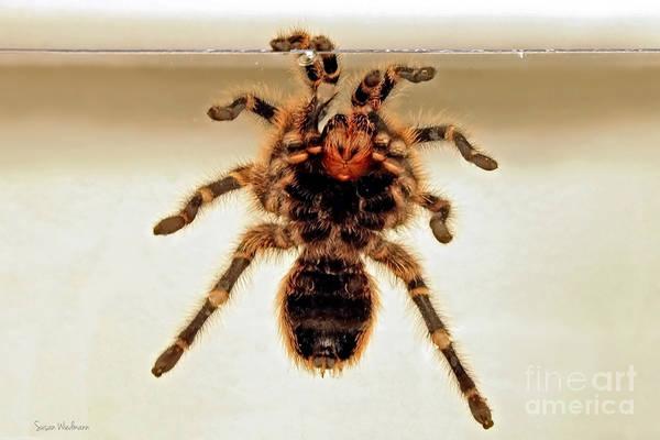 Photograph - Tarantula Hanging On Glass by Susan Wiedmann