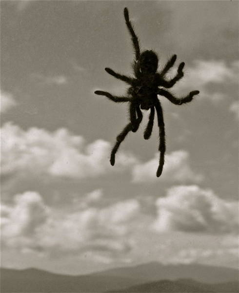 Photograph - Tarantula by Kim Pippinger
