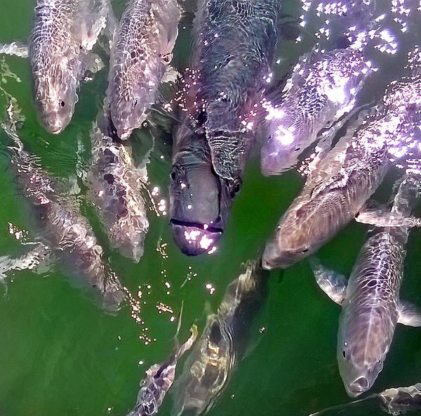 Photograph - Tarpon And Jack Fish 2 by Duane McCullough