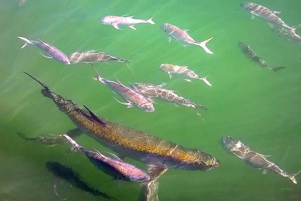 Photograph - Tarpon And Jack Fish 4 by Duane McCullough