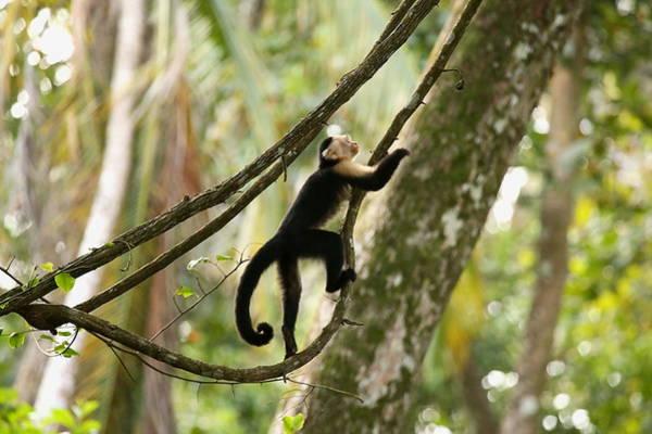 Cahuita Photograph - Tarzan by BYET Photography