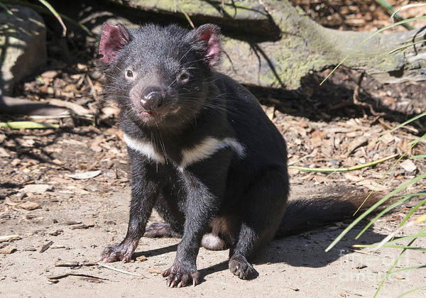Photograph - Tasmanian Devil by Steven Ralser