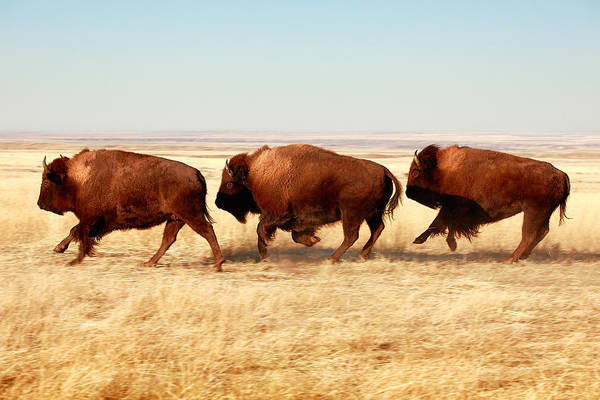 Animal Wall Art - Photograph - Tatanka by Todd Klassy