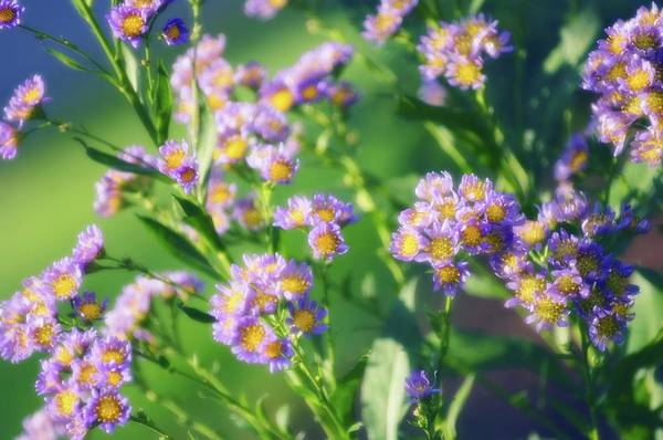 Aster Photograph - Tatarian Aster (aster Tataricus 'jindai') by Maria Mosolova/science Photo Library
