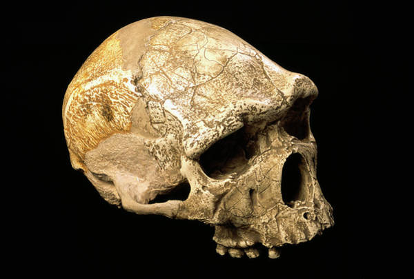 Wall Art - Photograph - Tautavel Man Skull by Pascal Goetgheluck/science Photo Library