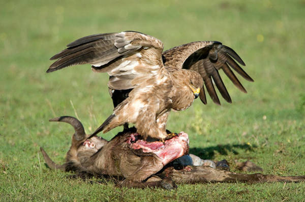 Wall Art - Photograph - Tawny Eagle Aquila Rapax Eating A Dead by Panoramic Images