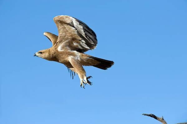 Eagle In Flight Photograph - Tawny Eagle In Flight by Tony Camacho/science Photo Library