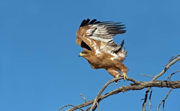 Eagle In Flight Photograph - Tawny Eagle Taking Off by Tony Camacho