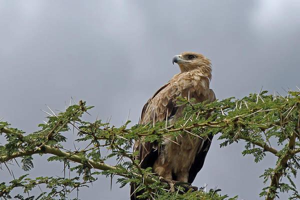 Photograph - Tawny Eagle by Tony Murtagh