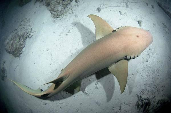 The Maldives Photograph - Tawny Nurse Shark by Scubazoo/science Photo Library