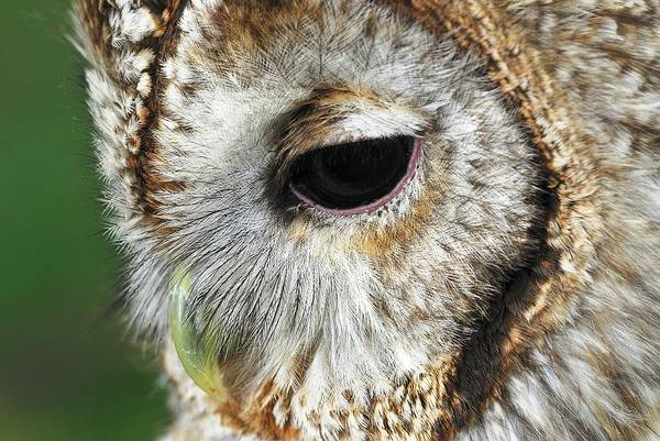 Wall Art - Photograph - Tawny Owl by Colin Varndell/science Photo Library