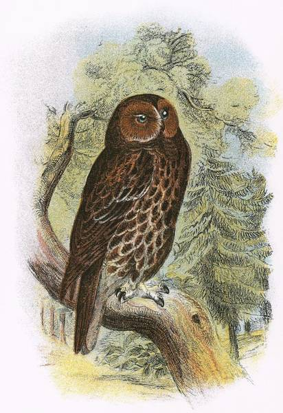 Ornithology Photograph - Tawny Owl by English School