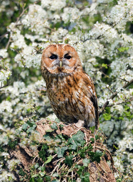 Strigidae Photograph - Tawny Owl In Hedgerow by John Devries/science Photo Library