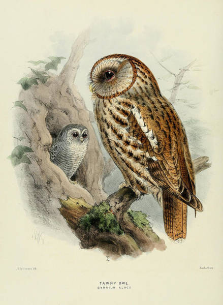 Owl Painting - Tawny Owl  by Dreyer Wildlife Print Collections