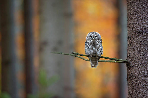 Clawed Photograph - Tawny Owl by Milan Zygmunt