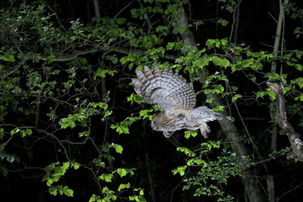 Owl In Flight Photograph - Tawny Owl by Simon Booth/science Photo Library