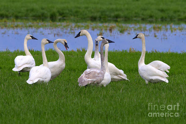 Swan Neck Photograph - Tea Party by Sharon Talson