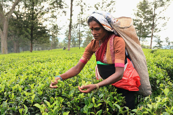 Photograph - Tea Picker At Work by Paul Cowan
