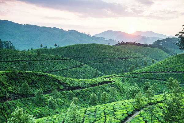 Kerala Photograph - Tea Plantation At Sunset, Kerala, India by John Harper