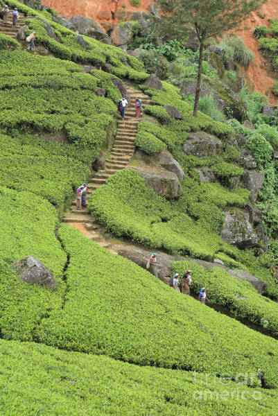Photograph - Tea Plantation In Sri Lanka by Paul Cowan