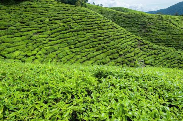 West Highlands Photograph - Tea Plantations In The Cameron Highlands by Scubazoo