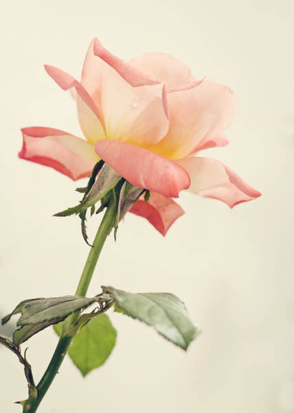 Photograph - Tea Rose by Heather Applegate