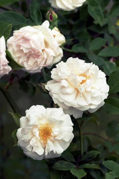 Rose In Bloom Photograph - Tea Rose (hume's Blush) by Brian Gadsby/science Photo Library