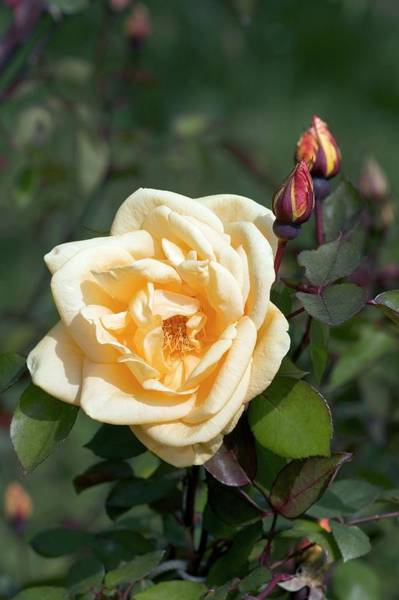 Rose In Bloom Photograph - Tea Rose (lady Hillingdon) by Brian Gadsby/science Photo Library