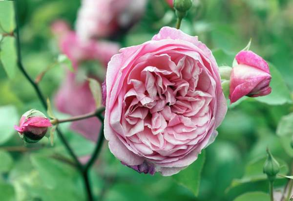 Rose In Bloom Photograph - Tea Rose (mille La Comtesse De Leusse) by Brian Gadsby/science Photo Library