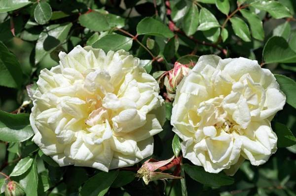 Rose In Bloom Photograph - Tea Rose (miss Alice De Rothschild) by Brian Gadsby/science Photo Library