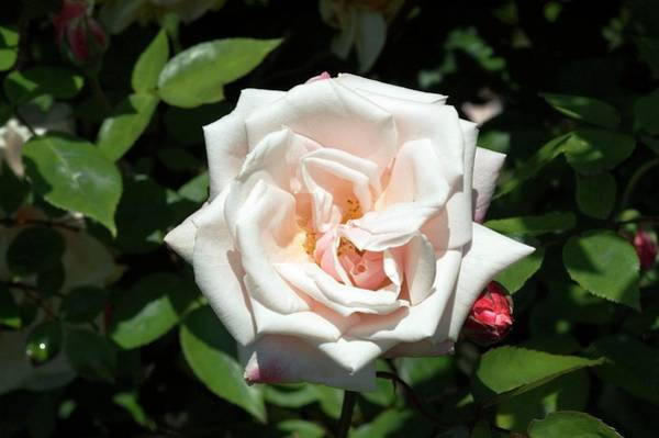 Wall Art - Photograph - Tea Rose (mme. Antoine Mari) by Brian Gadsby/science Photo Library
