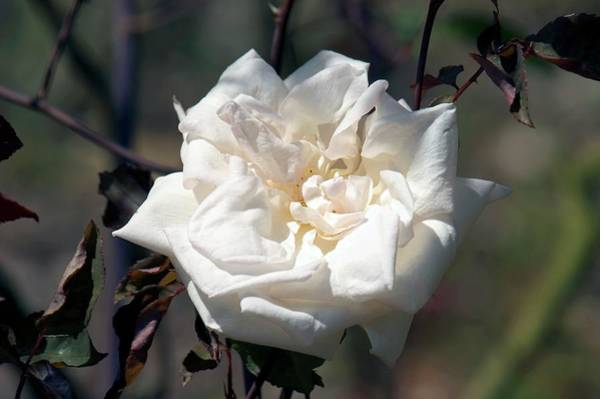 Rose In Bloom Photograph - Tea Rose (nabonnand) by Brian Gadsby/science Photo Library