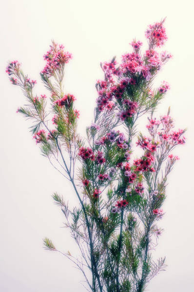 Floristry Photograph - Tea Tree Flowers (leptospermum Sp.) by Maria Mosolova/science Photo Library