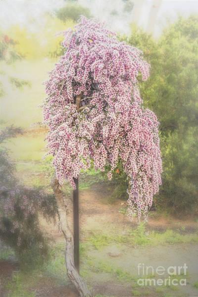 Photograph - Tea Tree Leptospermum by Elaine Teague