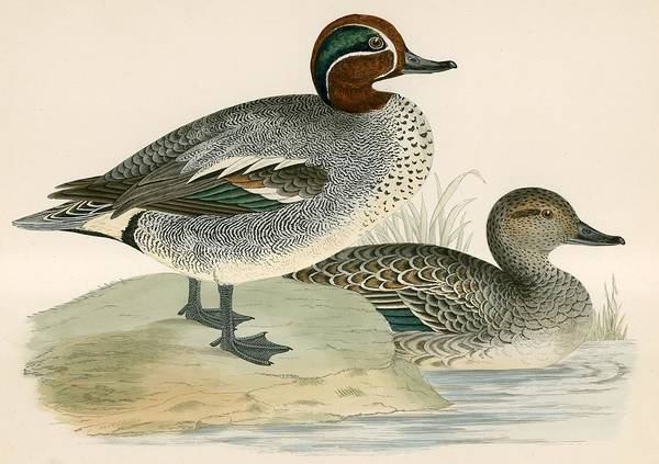 Wildfowl Photograph - Teal by Beverley R. Morris